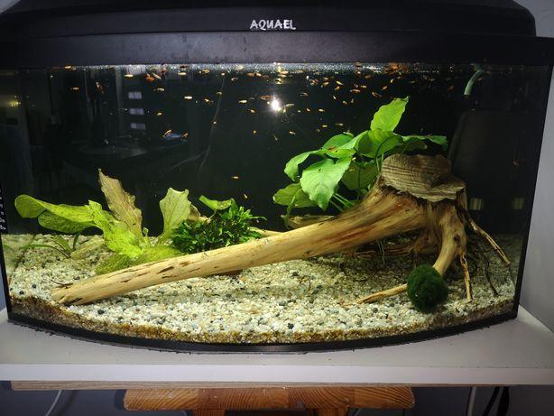 Korzeń do akwarium z roslina anubias