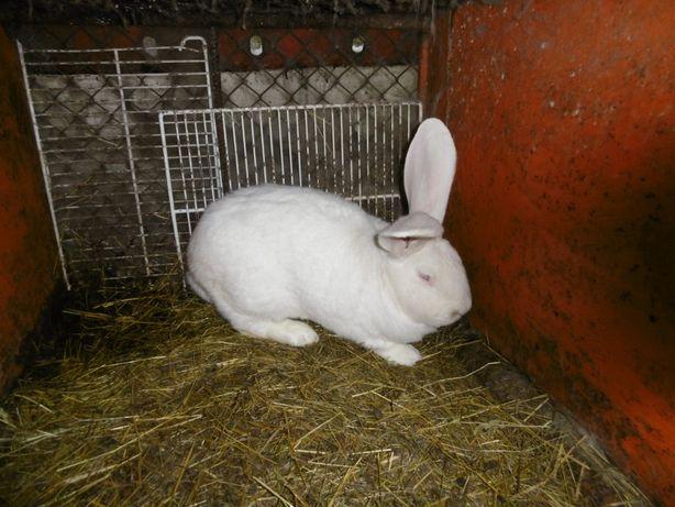 króliki rasowe - sprzedam