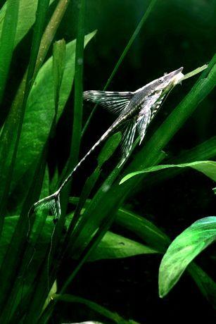 Sturiosoma aureum 20,0 cm