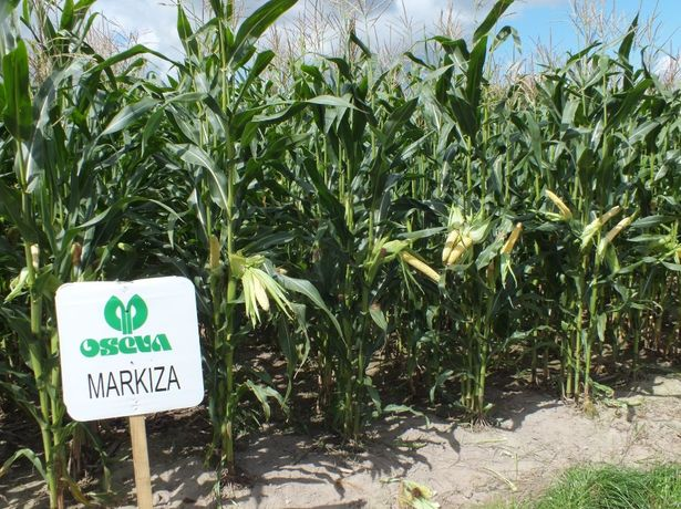Nasiona kukurydzy kukurydza MARKIZA kiszonka FAO 280