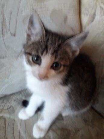 Котенок девочка 1.5 месяца