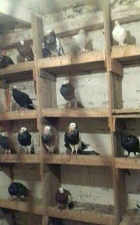 Gołębie ozdobne likwidacja hodowli