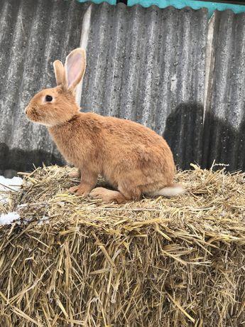 Кролики бургундці, полтавське срібло