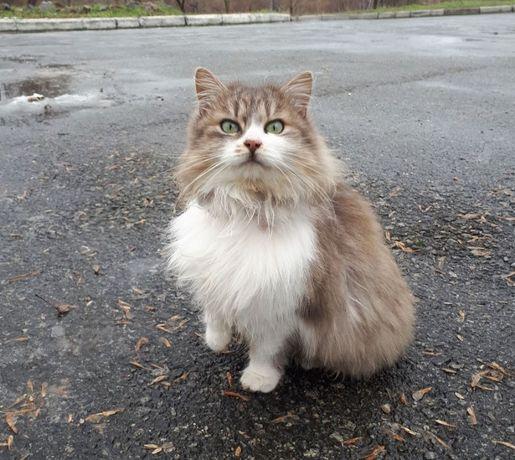 Зеленоглазая пушистая красавица - кошка, стерилизована