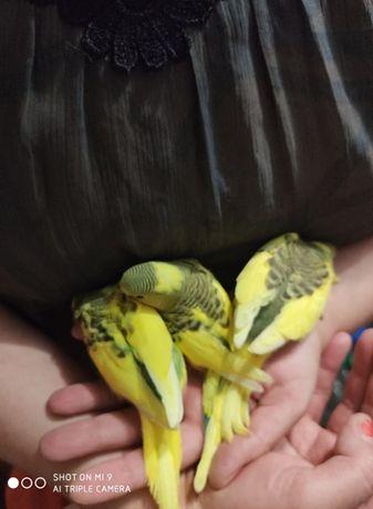 Молодые волнистые попугаи.