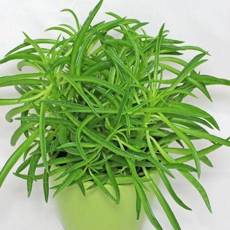 SENECIO Barbertonicus - Planta em vaso - Vários tamanhos desde 15 €