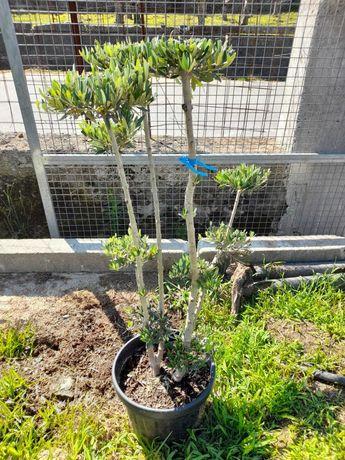 NOVIDADES - Oliveiras para Interiores! / Plantas / Árvores / Jardim