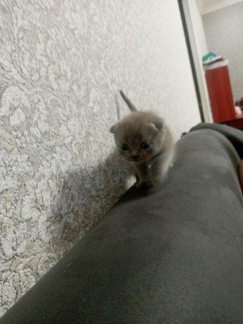 Кошечка вислоухая британка