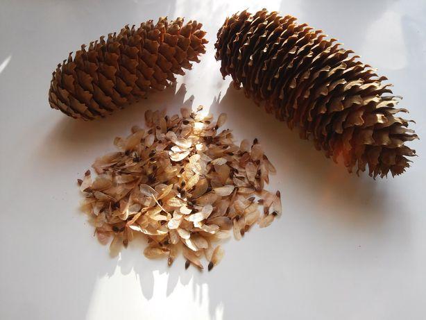 Nasiona świerka pospolitego