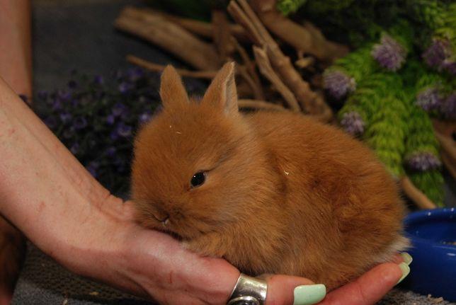 Карликовый декоративный кролик мини, рыжие крольчата