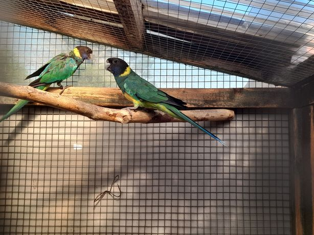 Papugi zielone nimfy