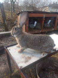 Кролики Фландери
