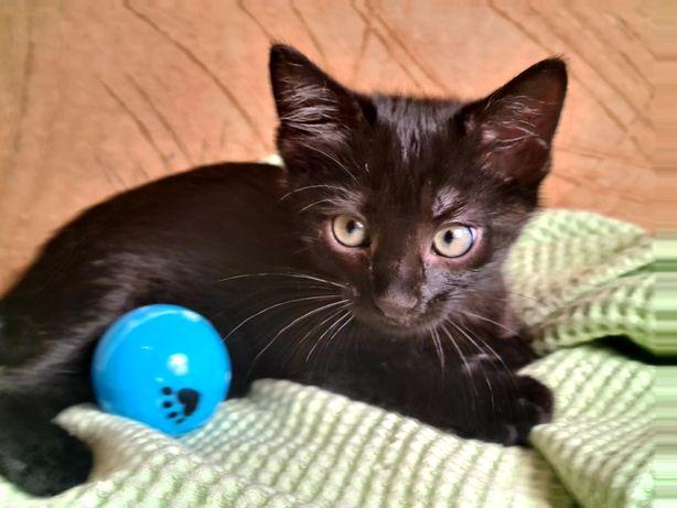 Чёрная маленькая пантерка, чёрный котенок ищет дом 2,5 мес