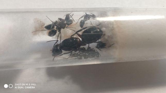 Polskie mrówki+gratis+wysyłka [Lasius niger, Camponotus, Tetramorium,]