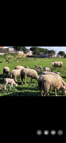 Ovelhas Vila Franca de Xira 80 euros machos
