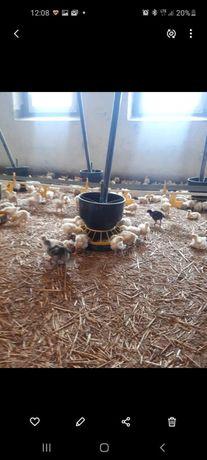 Kurczaki-brojlery pisklęta