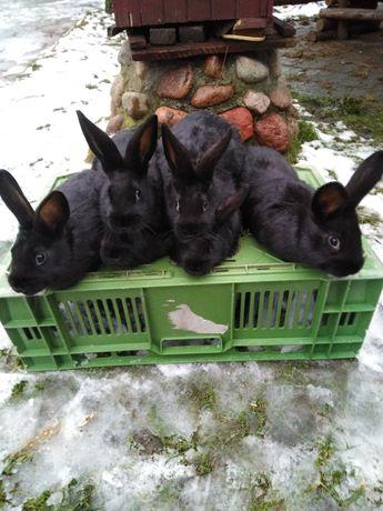 Sprzedam króliki mieszance