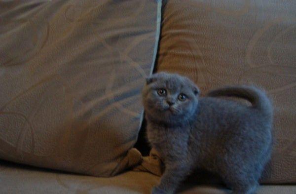 Котик шотландец вислоухий