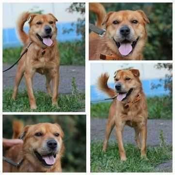 Метис Арчи, возраст 1.5 года, среднего размера собака