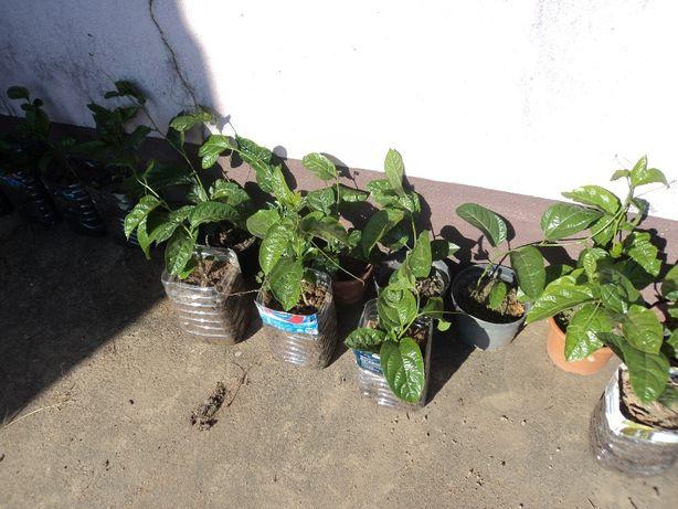 Maracujazeiros roxos para plantação