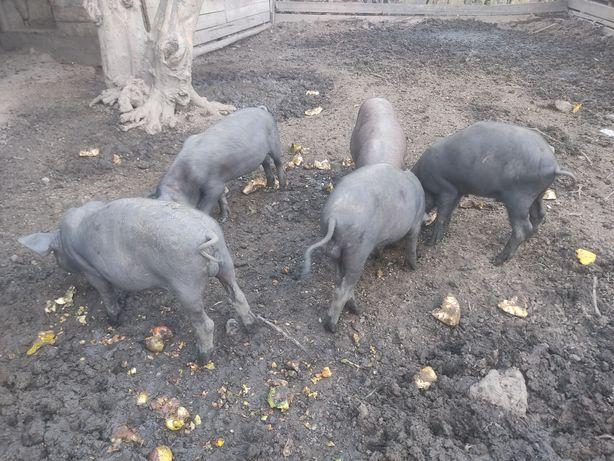Porcos, leitões, Pietran, preto alentejano