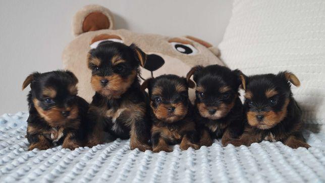 Międzynarodowy Rodowód FCI / ZKwP Yorkshire Terrier miniaturki