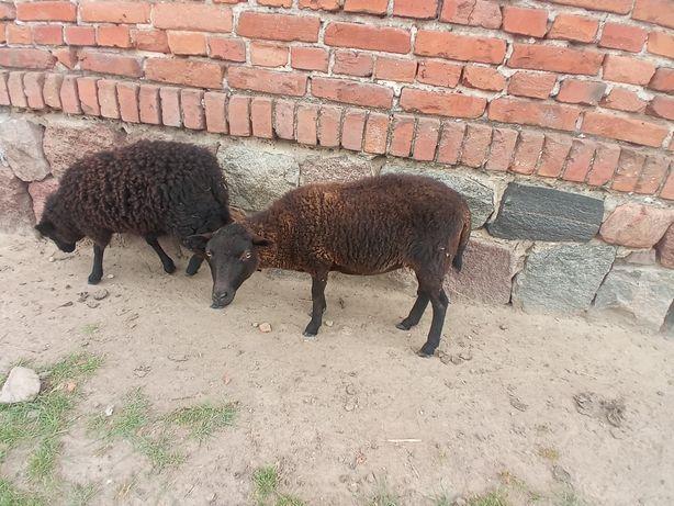 Owca minuaturowa Quasant