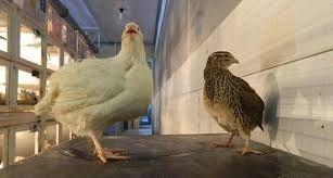 Яйца инкубационные техасского белого перепела и З.Феникса