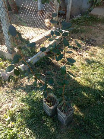 Plantas feijoas prontas a ir para a terra