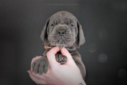 Dog Niemiecki - szczenieta blekitne i czarne z genem blekitnym