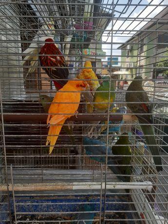попугаи-какарики