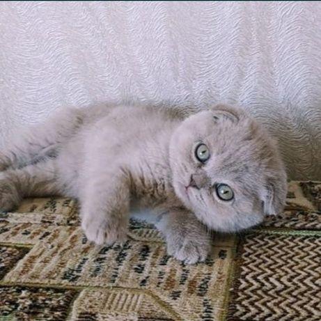 Шотландские вислоухие лиловые котята/девочки