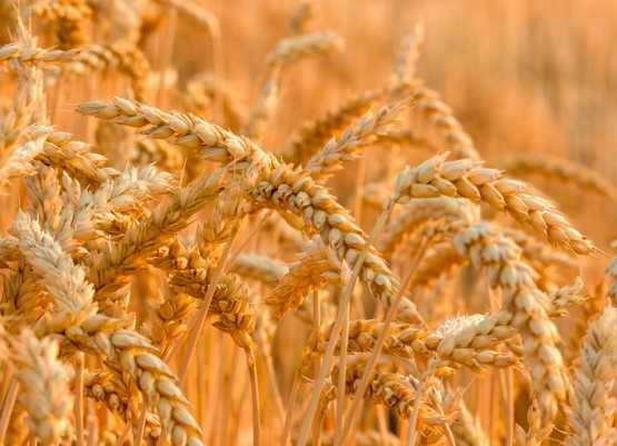 FLORES-NASIONA zbóż PSZENICA OZIMA C1: Natula Medalistka MHR Promienna