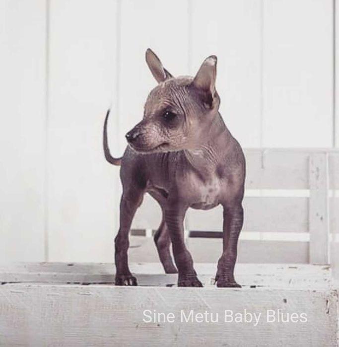 Породные щенки ксоло мини Львов - изображение 1