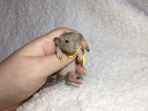 Szczurki syjamskie siamese point dumbo szczurek szczury szczur Samce