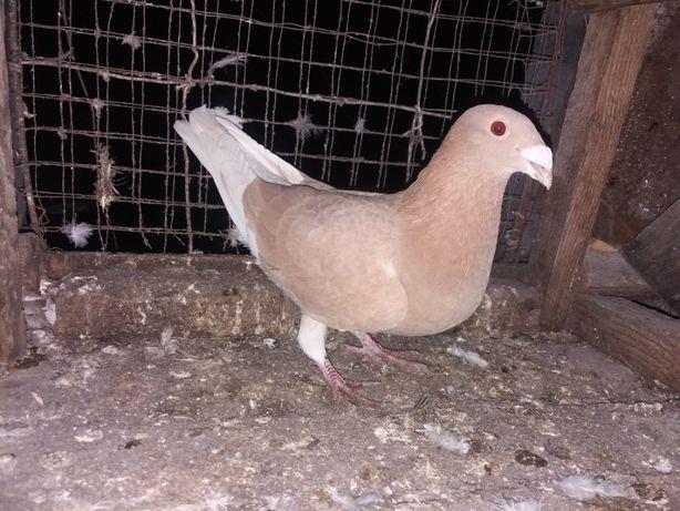 Продаю голуби мадяри