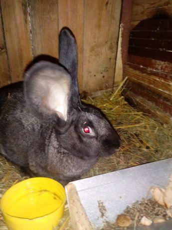 Sprzedam królika olbrzyma belgijskiego