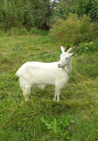 Продам козу (3, 3.5л)