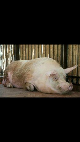 Продам свинину, тушой