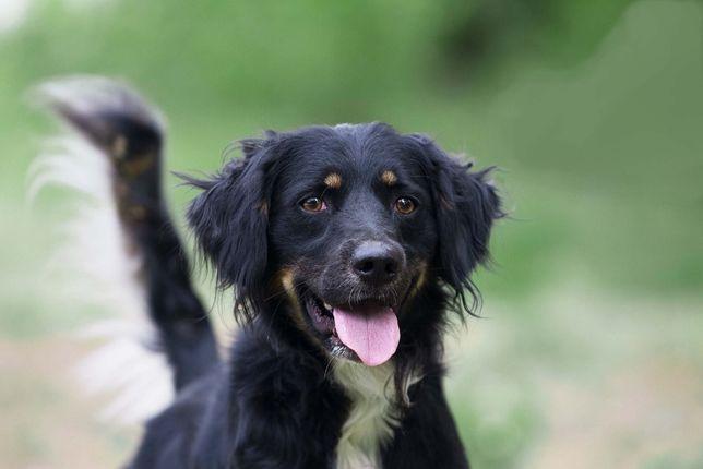 Отдам в хорошие руки собаку Чеда, метиса русского спаниеля.