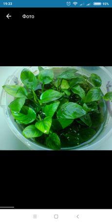 Продам акваріумні рослини