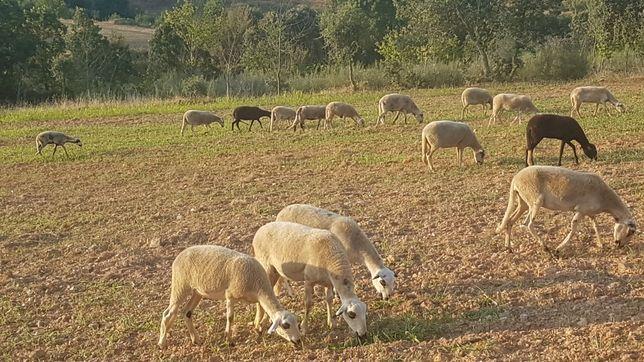 Vendo 34 ovelhas