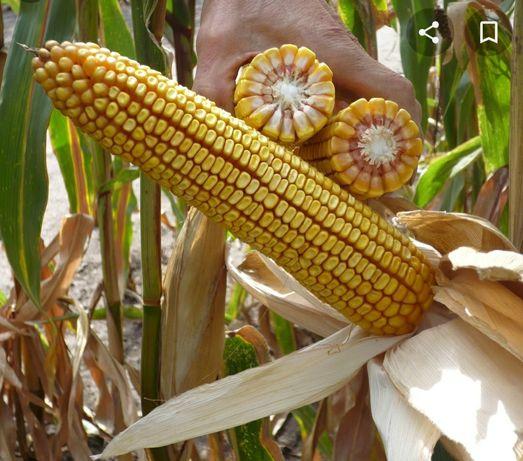 Nasiona kukurydzy LG 31.250