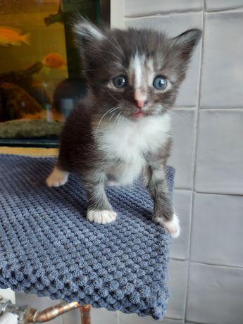 Kociak Norweski Leśny.