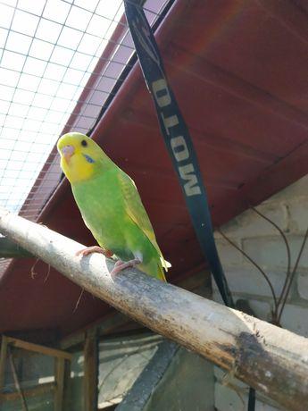 Papugi faliste, mlode