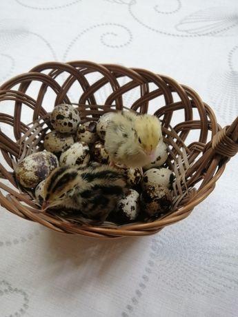 Jaja lęgowe i konsumpcyjne przepiórki  japońskiej