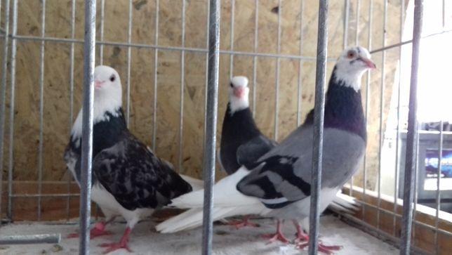 gołębie ozdobne rolery