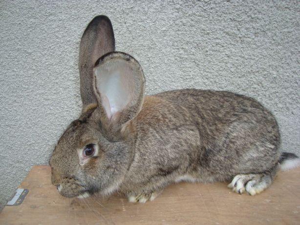 królik samiec belg olbrzym 8-miesięczny belgijski