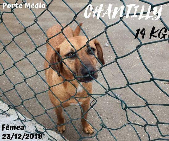 Cadela Porte Médio (14kg) Para Adoção (Chantilly)