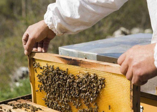 Чотирьохрамкові бджолині пакети (Карпатська порода)